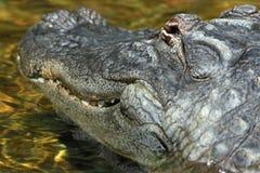 American Alligator Close Up Detail Stock Photo