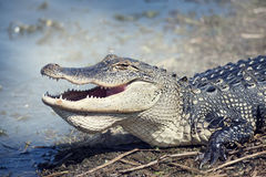 American Alligator. Close up shot Stock Images