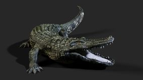 American alligator crocodile. 3D Illustration of a green American alligator isolated on grey background, American crocodile Stock Photo