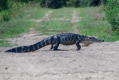 American alligator crossing a dirt road royalty free stock photos