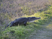 American Alligator Royalty Free Stock Photos