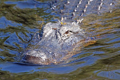 An American Alligator Cruising Royalty Free Stock Image