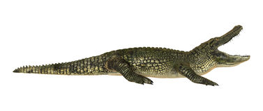 American Alligator. 3D digital render of a American alligator isolated on white background Royalty Free Stock Image