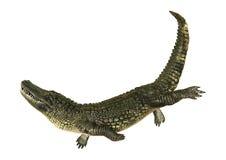American Alligator Stock Photography