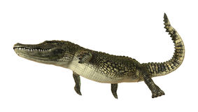 American Alligator Stock Images