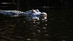 American Alligator and Dragonfly Stock Photo