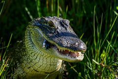 American alligator. Eating, viera wetlands Royalty Free Stock Photos