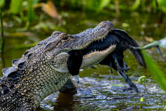 American alligator. Eating, viera wetlands Royalty Free Stock Images