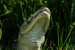 American alligator. Eating, viera wetlands Royalty Free Stock Image