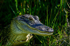 American alligator. Eating, viera wetlands Royalty Free Stock Photo