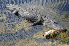 American Alligator in the Everglades Stock Photo