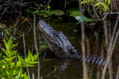American alligator,  everglades Royalty Free Stock Photo