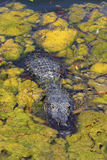 American Alligator. At Everglades National Park Royalty Free Stock Photos
