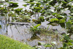 American Alligator in The Everglades National Park, Florida Royalty Free Stock Images