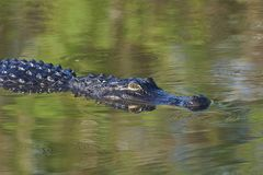 American Alligator in Florida Everglades USA. American Alligator in Everglades National Park Florida USA Royalty Free Stock Photo