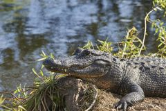 American Alligator in Florida Everglades USA. American Alligator in Everglades National Park Florida USA Stock Photos