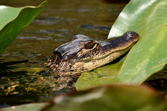 American Alligator in the Everglades Stock Photography