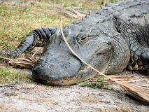 American alligator in Florida. Front shot of American alligator on dry land in Florida Stock Images