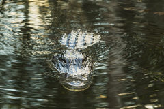 American alligator in the Florida Everglades. FLORIDA Stock Image