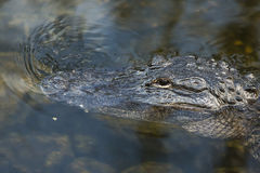 American alligator in the Florida Everglades. FLORIDA Royalty Free Stock Images