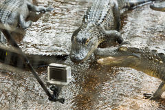 American alligator in the Florida Everglades. Two American alligators attacked a small camera in the Florida Everglades. FLORIDA Stock Photo