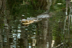 American alligator in the Florida Everglades. The American alligator in water with open mouth and big teeth. Florida Everglades. FLORIDA Stock Image