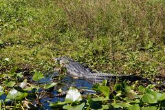 American Alligator in Florida. American alligator & x28;Alligator mississippiensis& x29; ilurking n the swamps surrounding Lake Cypress near Kissimmee in central Stock Image