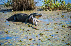 American Alligator in Florida. American Alligator sunning himself in the swamp land in Florida Royalty Free Stock Photos