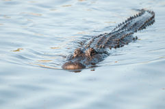 American alligator in Florida. Swimming slow toward its prey this Alligator waits for the right moment to lunge for food Stock Photo