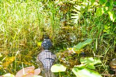 American Alligator in Florida Wetland. Everglades National Park in USA. Royalty Free Stock Photos