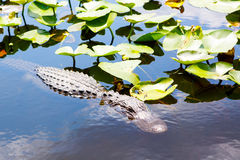 American Alligator in Florida Wetland. Everglades National Park in USA. Popular place for tourists, wild nature and animals Royalty Free Stock Photos