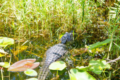 American Alligator in Florida Wetland. Everglades National Park in USA. Popular place for tourists, wild nature and animals Stock Images