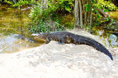 American Alligator in Florida Wetland. Everglades National Park in USA. Stock Images