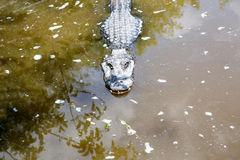 American Alligator in Florida Wetland. Everglades National Park in USA. Royalty Free Stock Photo
