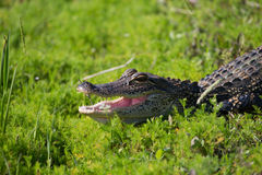 American Alligator in Florida Wetland. American Alligator sunning in a Florida Wetland Stock Photo
