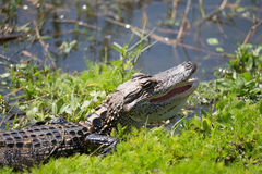 American Alligator in Florida Wetland. American Alligator vibrating in a Florida Wetland Royalty Free Stock Photo