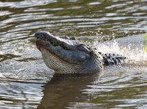 American Alligator in Florida Wetland Royalty Free Stock Photo