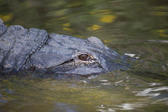 American Alligator in Florida Wetland. American Alligator vibrating in a Florida Wetland Stock Image