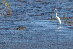 American alligator alligator mississippiensis creeping up on an egret. The American alligator or gator is very common in Florida, you can almost say that if Royalty Free Stock Images