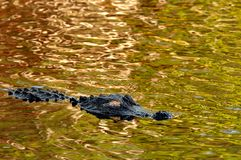 An American alligator floats on shiny green gold water. stock photography