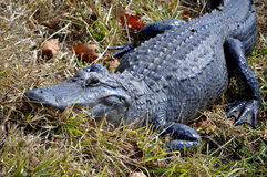 American Alligator In the Grass. This is a picture of an American Alligator in the grass stalking prey Royalty Free Stock Image
