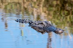 American alligator head above water royalty free stock photography