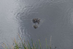 American alligator head in water. An American alligator wading in the water in the Everglades of Florida with only top of head showing Royalty Free Stock Images