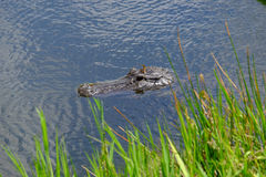 American alligator head in water. An American alligator wading in the water in the Everglades of Florida with top of head showing Stock Image