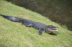 American alligator, Hilton Head Island Stock Images