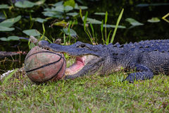 American alligator. Holding a basketball Stock Images