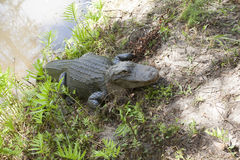 American Alligator Stock Image