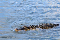 American alligator hunting Stock Images