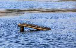 American Alligator Audubon Swamp Charleston SC Stock Images