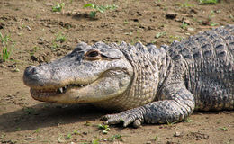 American alligator on land Royalty Free Stock Images